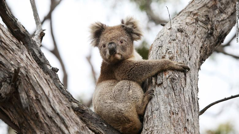 Australia has lost almost a third of its koala population in three years, foundation says