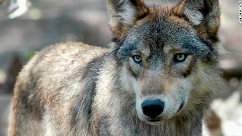Native American tribes sue Wisconsin to stop planned gray wolf hunt
