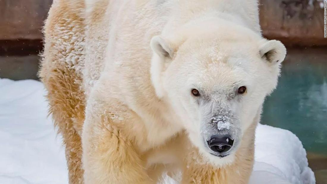 Oldest polar bear in human care in North America dies at Milwaukee zoo