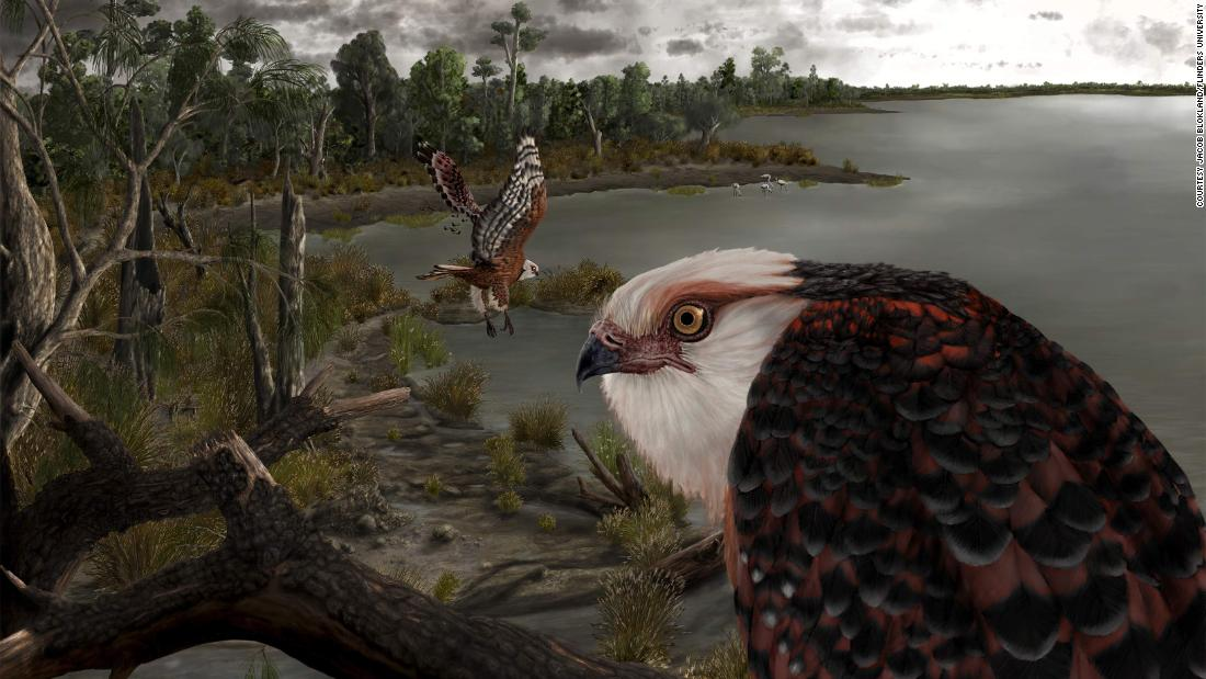 Rare fossil of 25-million-year-old eagle that hunted koalas found in South Australia