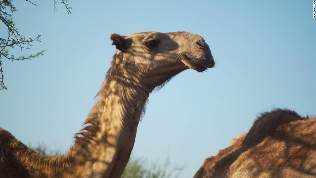 In Kenya, your next coffee could be a 'camel-ccino'