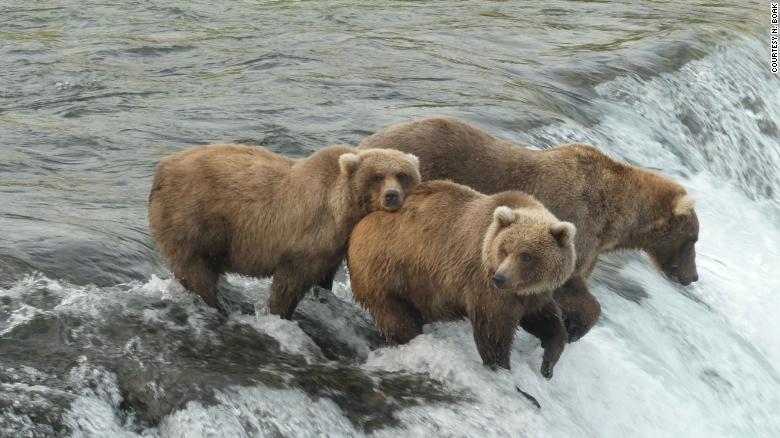 Why everyone loves Fat Bear Week