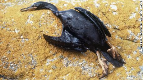 A cormorant is covered in oil after the sinking of the oil tanker Amoco Cadiz which caused a massive oil spill off the coast of France in 1978.