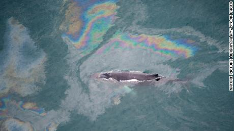 A humpback whale swims through an oil spill in Skjalfandi Bay, northern Iceland, in 2009.