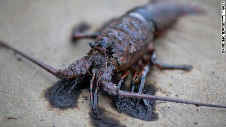 An oil-covered lobster died after an oil spill off Refugio State Beach in May 2015 near Santa Barbara, California.
