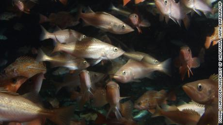 A school of redfish swims near the base of an oil rig off Ventura, Calif., In 2003.