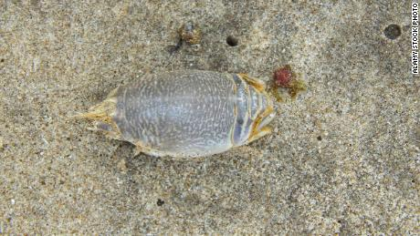 Sand crabs, also known as mole crabs, are common on many beaches and are a key link in the food chain.  This one is on a beach in Trinidad.