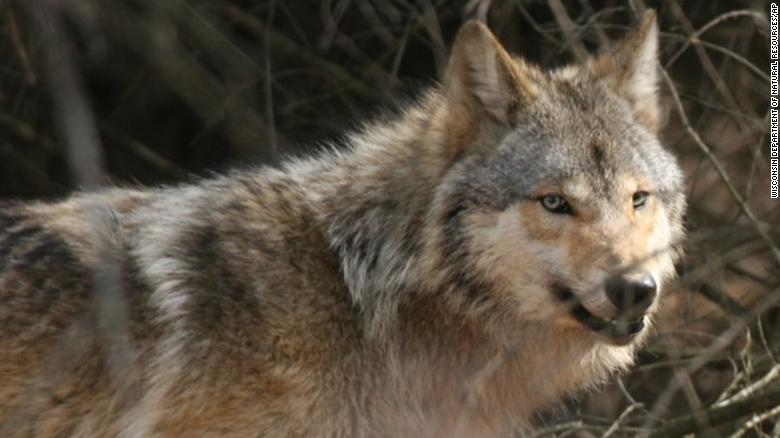 Wisconsin's wolf hunt quota is lowered following months of conflict