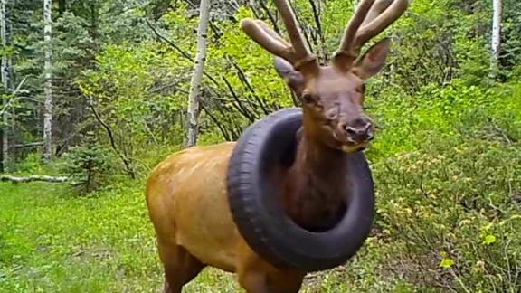 Image for Officers remove tire stuck on elk's neck for over 2 years