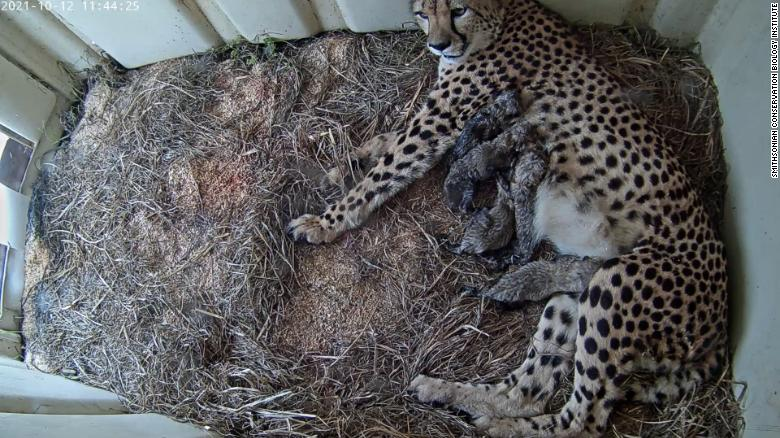 Smithsonian webcam offers view of its adorable litter of just-born cheetahs