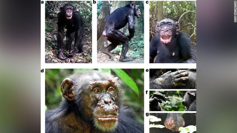 Leprosy seen in wild chimpanzees for the first time