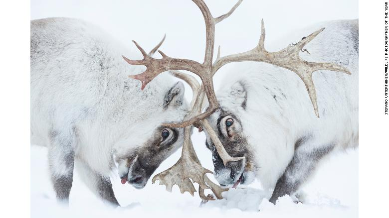 Italian photographer Stefano Unterthiner captured this image of two reindeer battling for control.