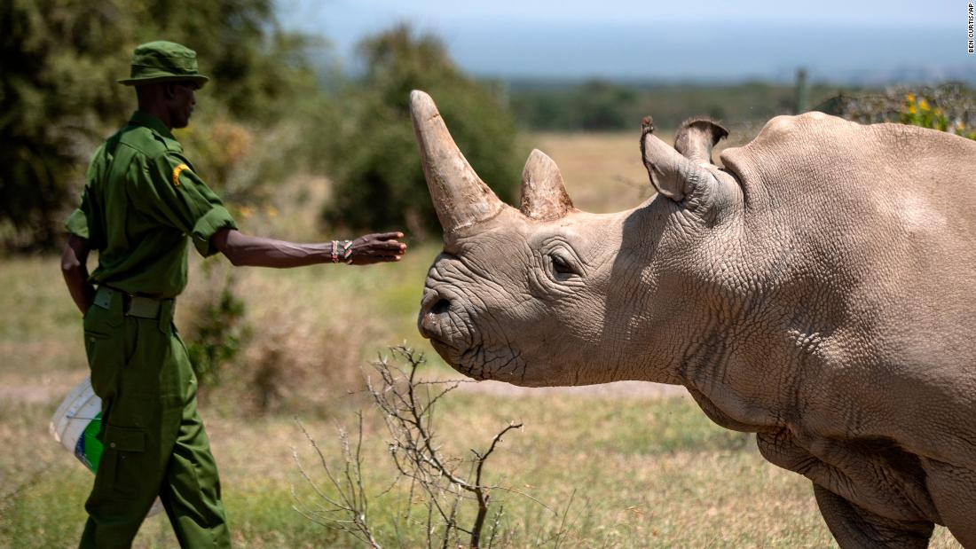 One of the world's last northern white rhinos retires from breeding