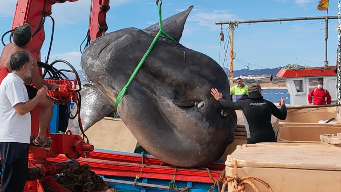 Giant 4,000 pound sunfish was rescued from a fishing net off the Spanish coast of Ceuta