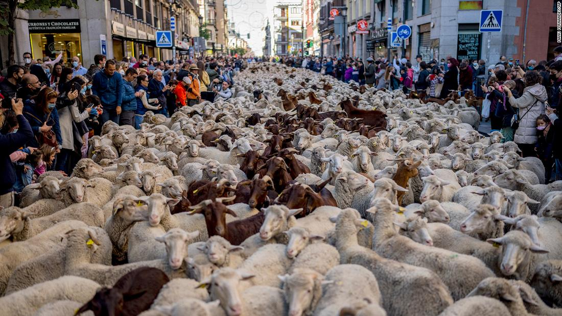 Sheep replace cars as they cross Madrid en route to winter pastures