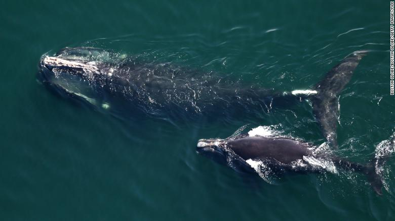 Populations of the endangered North Atlantic right whale are the lowest they've been in nearly 20 years